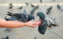 Alimenter de pigeons Photo stock