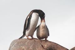 Alimenter de pingouins de Gentoo Images stock