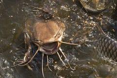 Alimenter de poisson-chat images stock