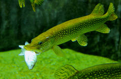 Alimenter de poissons de Pike Photographie stock libre de droits