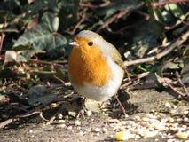 Alimenter de Robin photos libres de droits