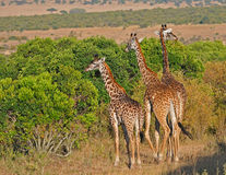 Alimenter de trois giraffes (Serengeti NP, l'Afrique) Images libres de droits