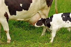 Alimenter de vache à veau Photos libres de droits