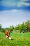 Alimenter de vache Photos libres de droits