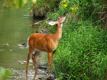 Alimenter de Whitetail Image stock
