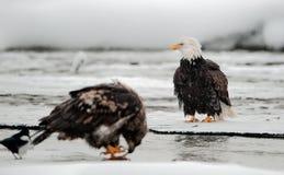 Alimenter des aigles chauves (leucocephalus de Haliaeetus) image libre de droits