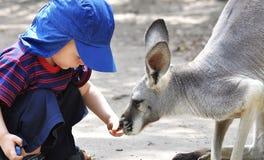 Alimenter le kangourou Photographie stock libre de droits