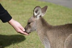 Alimenter les kangourous au zoo de l'Australie Photos libres de droits
