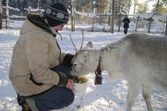 Alimenter un jeune renne Photos libres de droits