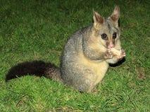 Alimenter un opossum Image libre de droits
