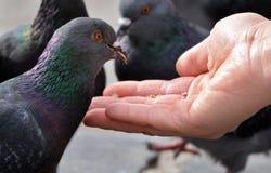 Alimenter un pigeon de main Photo libre de droits