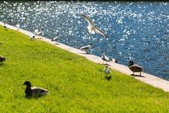 Alimentez les oiseaux par l'étang pendant l'été Image stock