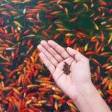 Alimentez les poissons photo libre de droits