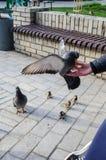 Alimenti agli uccelli i piccioni ed i passeri con il primo piano delle mani fotografie stock