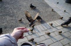 Alimenti agli uccelli il passero con il primo piano delle mani immagini stock libere da diritti