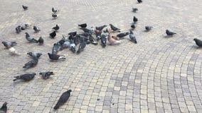 Alimenti i piccioni nel quadrato durante il giorno archivi video