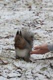 Alimenti lo scoiattolo Immagine Stock