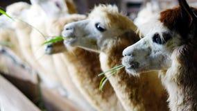 Alimenti per l'alpaca all'azienda agricola nella festa Fotografia Stock