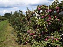 Alimento - árvores de maçã Imagem de Stock