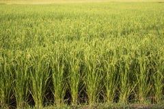 Alimento Ásia Tailândia da natureza da planta do campo do arroz Foto de Stock Royalty Free