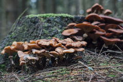 Alimento: armillaria na floresta, cogumelos comestíveis selvagens Imagem de Stock