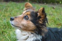 Alimento aspettante del cane Fotografia Stock