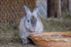Alimento aspettante del coniglio Immagini Stock Libere da Diritti