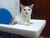 Alimento aspettante del gatto Fotografia Stock