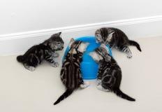 Alimento aspettante del gatto americano dello shorthair Fotografia Stock Libera da Diritti