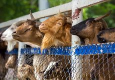 Alimento aspettante dell'azienda agricola della capra Fotografie Stock Libere da Diritti