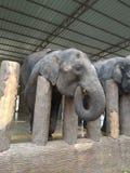 Alimento aspettante dell'elefante del bambino Fotografie Stock Libere da Diritti