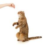 Alimento attendente del gatto su bianco Fotografia Stock