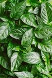 Alimento biológico de la planta del almácigo, agricultura biológica Fotografía de archivo