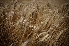 Alimento crescente del prato della natura di agricoltura del campo di frumento Immagine Stock Libera da Diritti