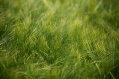 Alimento crescente del prato della natura di agricoltura del campo di frumento Fotografie Stock Libere da Diritti