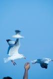 Alimento da tomada da gaivota Imagens de Stock Royalty Free