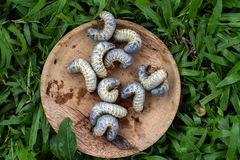 Alimento das larvas do ferrugineus de Rhynchophorus imagens de stock royalty free