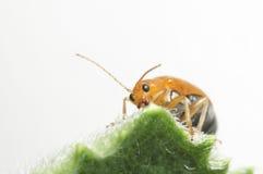 Alimento de alimentación del insecto anaranjado en la hoja verde. Foto de archivo libre de regalías