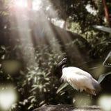 Alimento de cabeça negra do achado do pássaro dos íbis na rocha com luz solar Fotografia de Stock Royalty Free