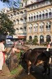 Alimento de oferecimento dos povos à vaca santamente em Mumbai, Índia Fotos de Stock