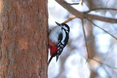 Alimento del hallazgo de la pulsación de corriente en tronco del pino en wint Foto de archivo