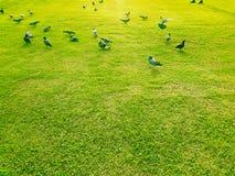 Alimento del ritrovamento del piccione su erba Immagini Stock Libere da Diritti