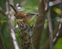 Alimento dell'insetto della riunione dell'uccello di Carolina Wren per i pulcini Immagini Stock Libere da Diritti