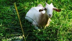 Alimento della capra Immagine Stock