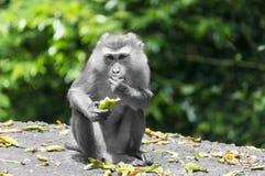 Alimento della scimmia Fotografie Stock