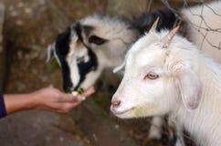 Alimento delle capre del bambino dell'alimentazione di mano dell'uomo due Fotografia Stock Libera da Diritti