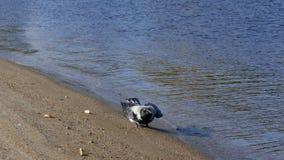 Alimento di ricerca del corvo sulla spiaggia sabbiosa della riva del fiume stock footage