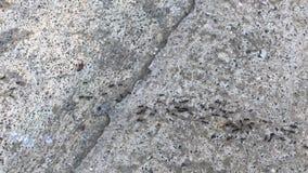 Alimento di trasporto della colonia della formica video d archivio