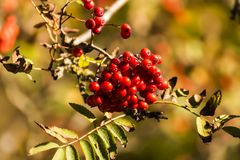 Alimento di uccello naturale che pende da un ramo di un albero sempreverde fotografia stock libera da diritti
