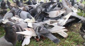 Alimento dirottato colombe Immagini Stock Libere da Diritti